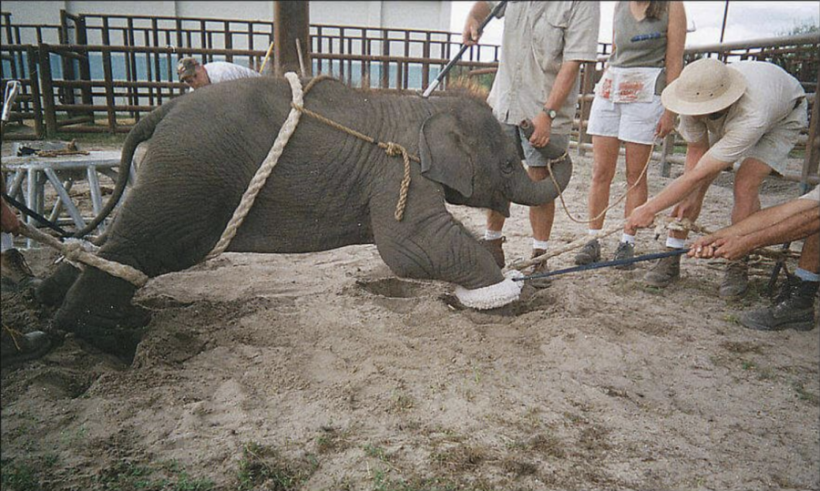 Animals such as this elephant are taken from their families in the wild to be sold to zoos and circuses. They are often caged and chained as well as beat to make them subservient to their owners.